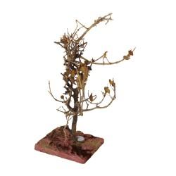 Ölbaum,schön verknorpelt auf Platte